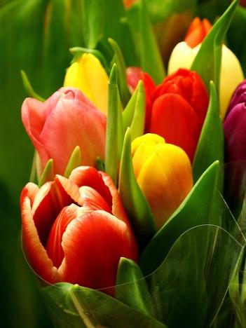 Tulipani2.jpg